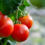 World tomato production saved from a dangerous disease