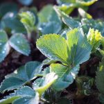 """How to prepare strawberries for winter and what NOT to DO-tips """" Green beds»"""